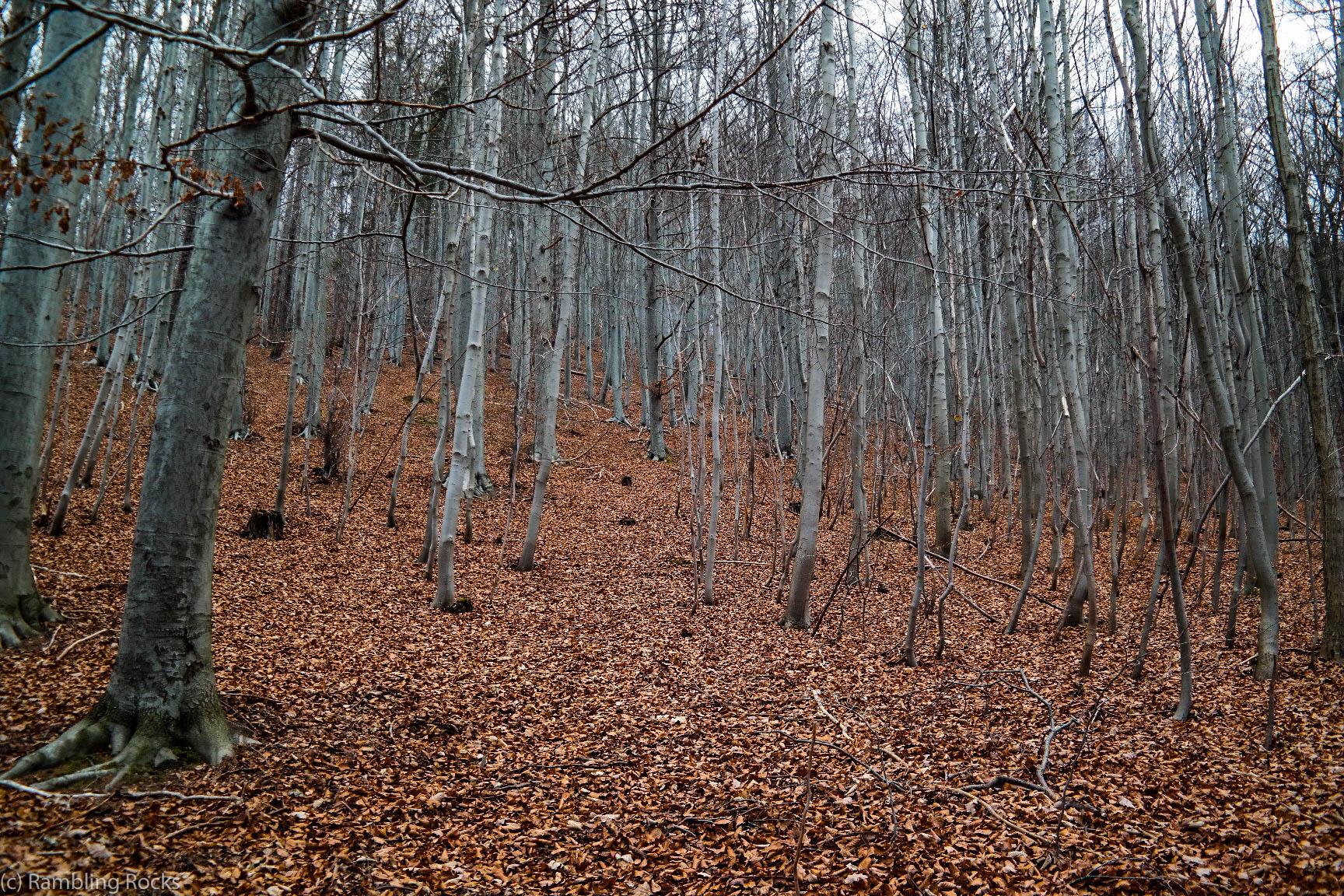 Rotbuche Herbst