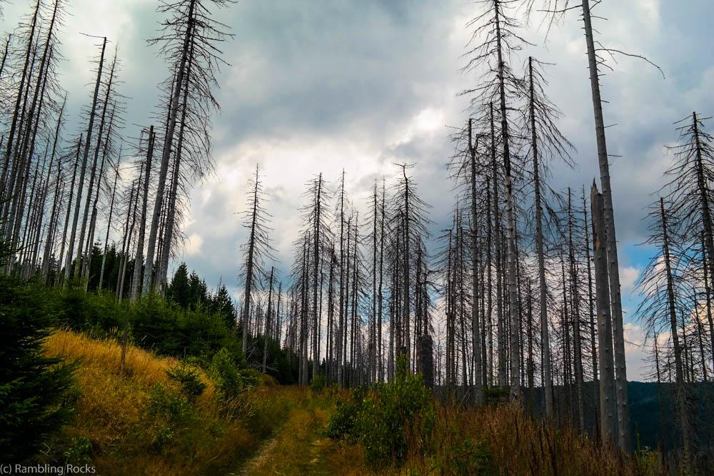 Waldsterben Harz