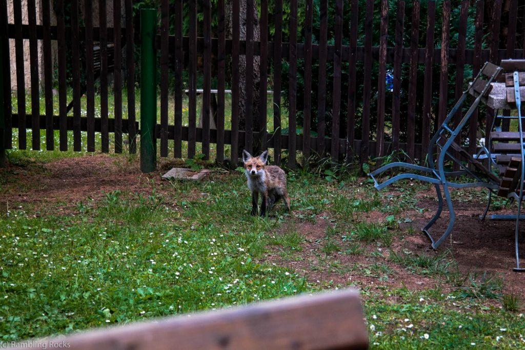 Fuchs bei Gasthof