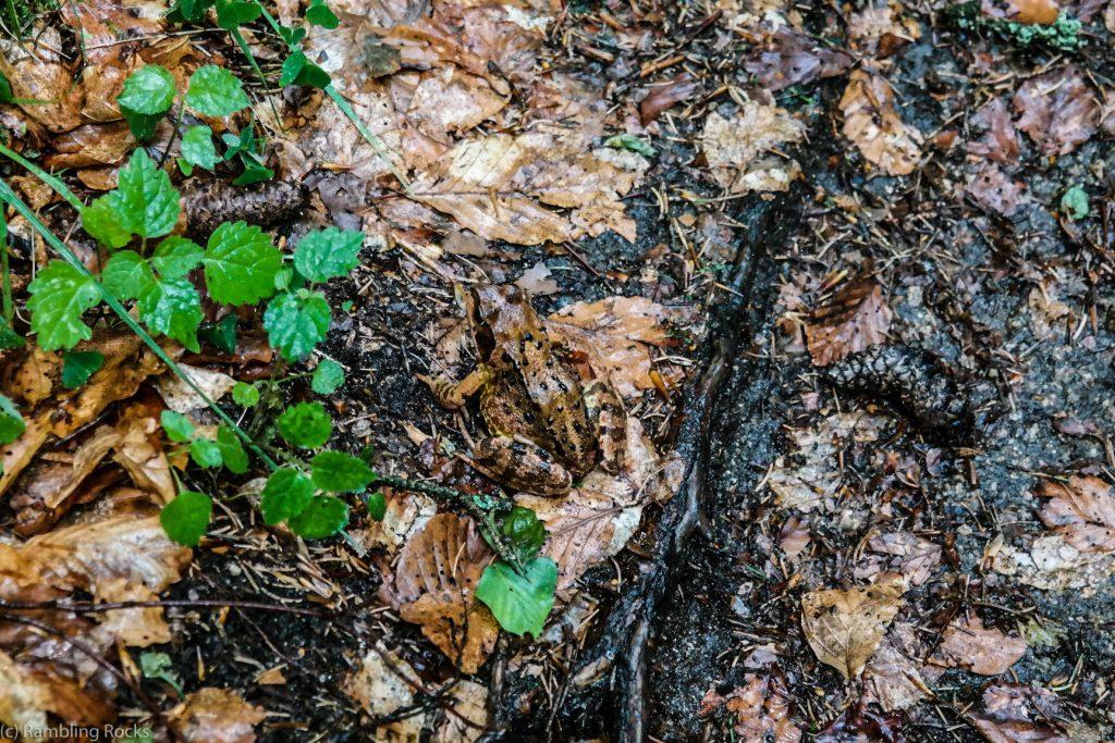 Frosch im Harz