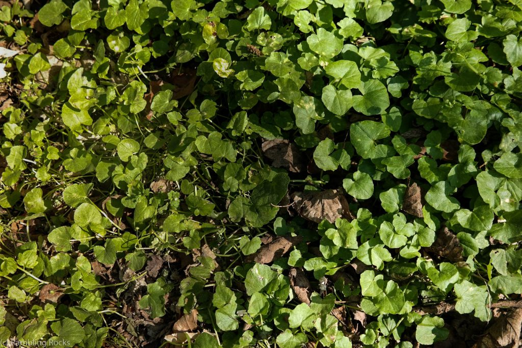 Scharbockskraut im Frühjahr