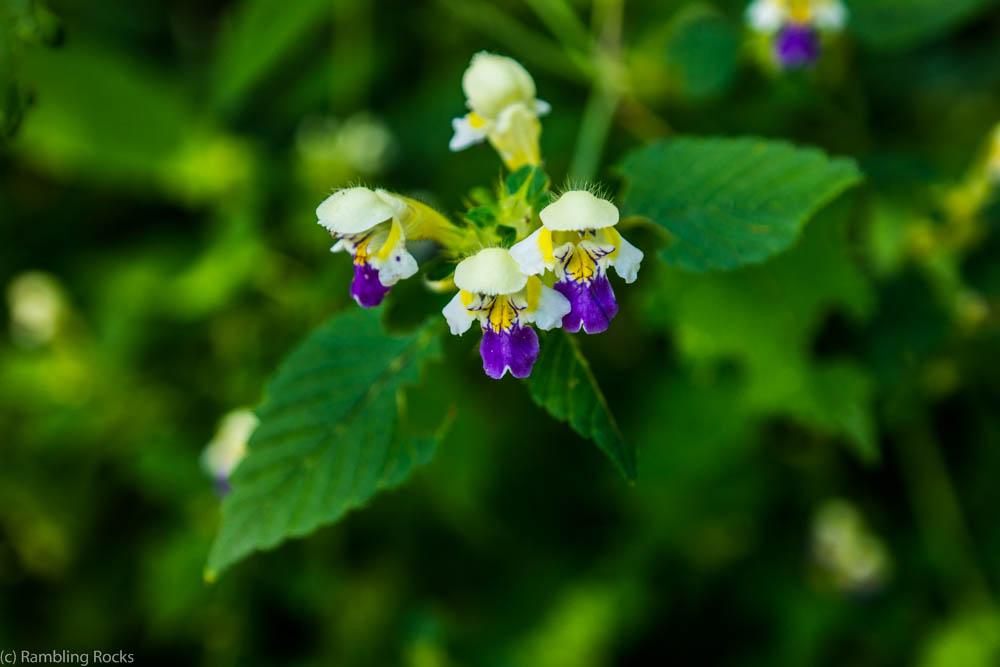 Blume aus Slowenien