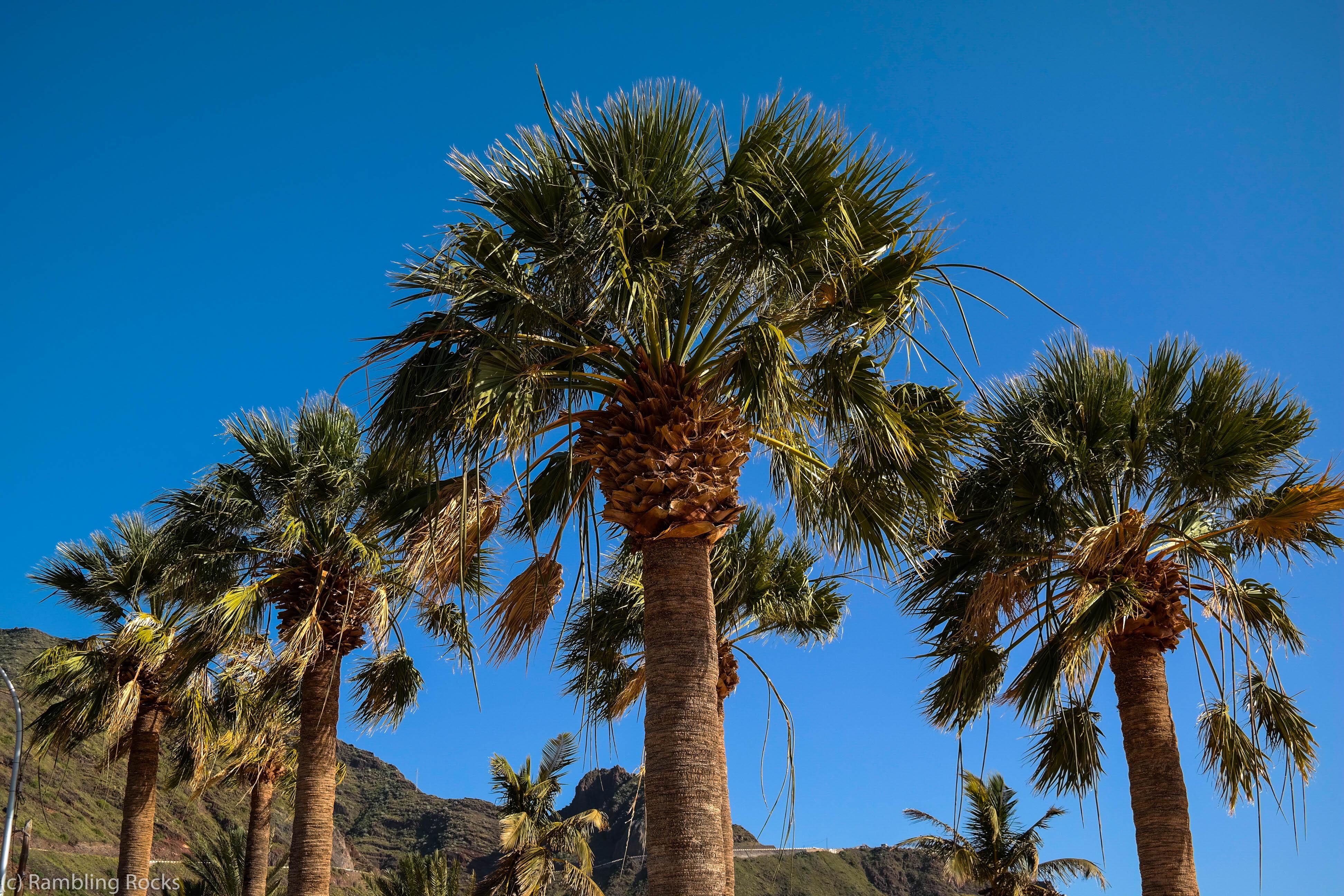 Palmen Teneriffa