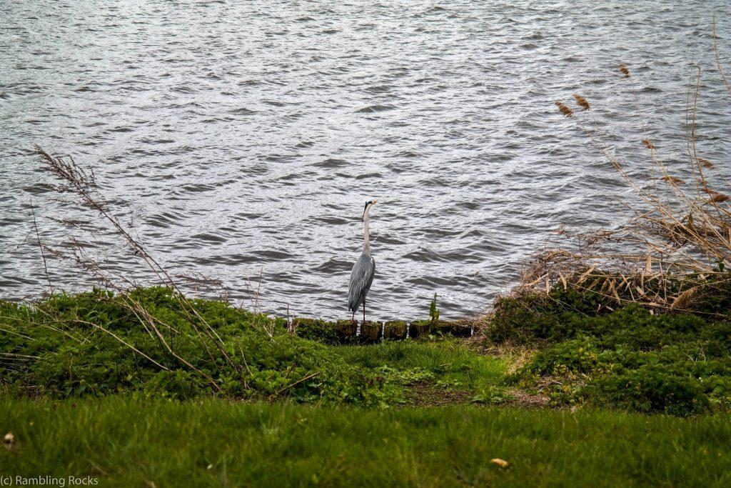 Graureiher am Schweriner See