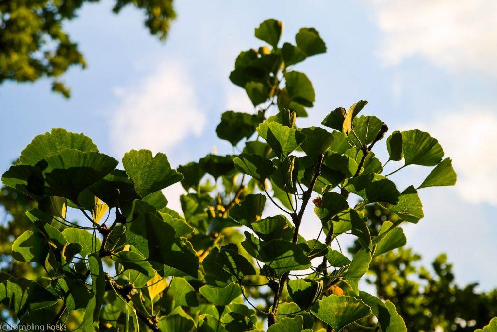 Ginkgo-Baum in Schwerin